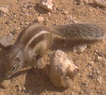 Erdhörnchen in Sotavento